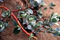 Atriplexleucophylla
