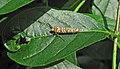 Atteva aurea (Ailanthus webworm moth) (Newark, Ohio, USA) 2 (43255705902).jpg