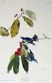 Audubon-Sylvia azurea.jpg