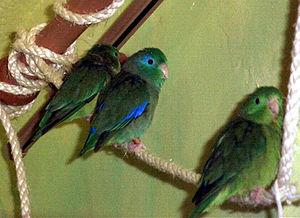 Ring-eye parrot (Forpus conspicillatus)