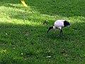 Australian White Ibis - Sydney, Australia (9533465622).jpg