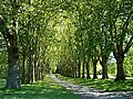 Avenue of trees in St George's Park - geograph.org.uk - 492115.jpg
