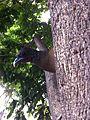 Aves guacharaca.JPG