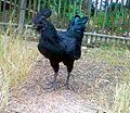Ayam cemani.jpg