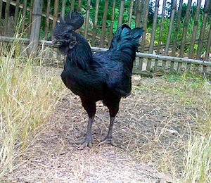 Ayam Cemani - Cemani Rooster