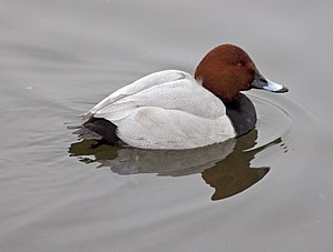 Common pochard - Male