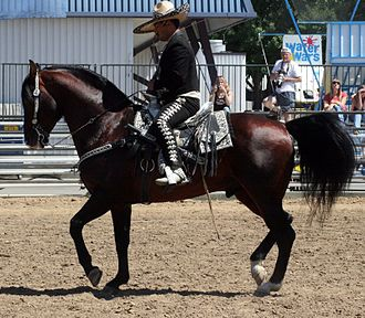 Azteca horse - An Azteca under saddle