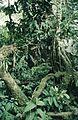 B03 Ecuador 035 - Plants of the rainforest, February 1985.jpg