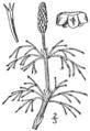 BB-0091 Equisetum sylvaticum.png