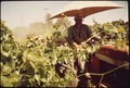 BOB MARTINEZ SPRAYING GRAPE VINES - NARA - 542534.tif