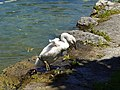 Baby swan @ Lake Annecy @ Port de Saint-Jorioz (50487817616).jpg