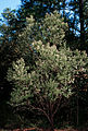 Baccharis halimifolia 1120475.jpg