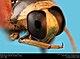 Backswimmer (family Notonectidae) (23224315185).jpg