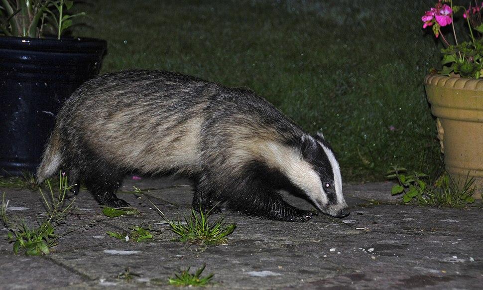 Badger 25-07-09