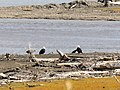 Bald eagles entertain us as we wait for the ferry (48681120127).jpg