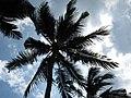 Bali nusa dua beach palm.JPG