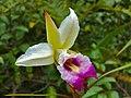 Bamboo Orchid (Arundina graminifolia) (6771909127).jpg