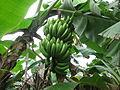 Banana - വാഴ-8.JPG