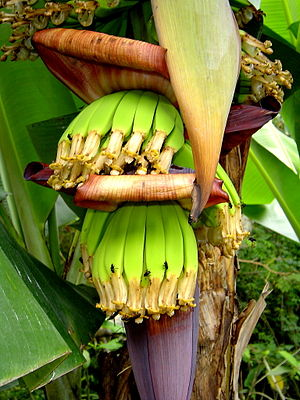 Cavendish banana - Developing fruits of a Cavendish banana
