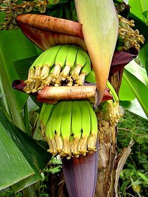 Banana production in Brazil - Bananas under growth