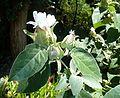 Barleria albostellata, loof en bloeiwyse, Manie van der Schijff BT.jpg