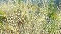 Barley (161677279).jpeg