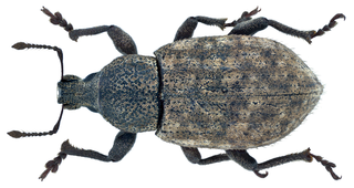 <i>Barynotus obscurus</i> species of insect