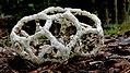 Basket Fungi. (17788401433).jpg