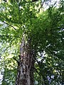 Baumkrone Buchen in Krumpendorf.jpg