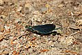 Beautiful Demoiselle - Calopteryx virgo (41456692215).jpg