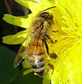 Bee on Dandelion.jpg