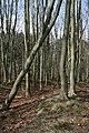 Beech Plantation, Mulgrave Woods - geograph.org.uk - 401829.jpg