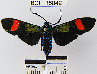 <i>Belemnia</i> Genus of moths