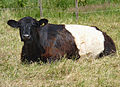 Belted Galloway cow J2.jpg