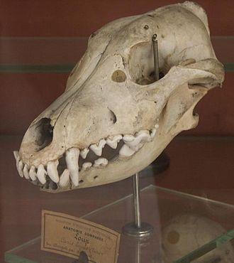 Indian wolf - Skull