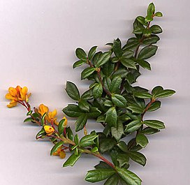 Berberis darwinii shoot.jpg