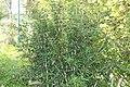 Berberis julianae Spring Glory 3zz.jpg
