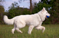 Berger Blanc Suisse4.png