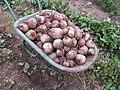 Beta vulgaris var conditiva Буряк столовий - багатий врожай.jpg