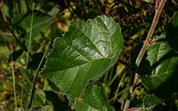 Betula-pubescens-downy-leaves