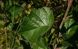 Betula-pubescens-downy-leaves.JPG