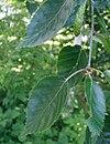 Betula-utilis-leaves