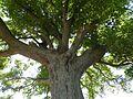 Beugin l'arbre remarquable (2).JPG