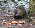 Biberratte - Nutria - coypu - Myocastor coypus - ragondin - castor des marais - Mönchbruch - March 23th 2013 - 06.jpg