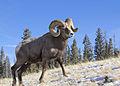 Bighorn Ram Lostine 6 myatt odfw (7591224426).jpg