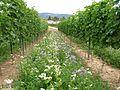 Bioweingarten mit Begrünung.JPG