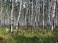 Birch forest - panoramio (1).jpg