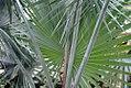 Bismarckia nobilis 6zz.jpg