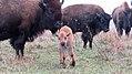 Bison calf at Neal Smith National Wildlife Refuge (38415912131).jpg