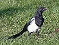 Black-billed Magpie (Pica hudsonia) RWD2.jpg